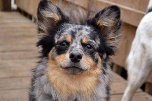 Adopt Duke On Petfinder Dogs Pomeranian Chihuahua Mix Pomeranian Dog