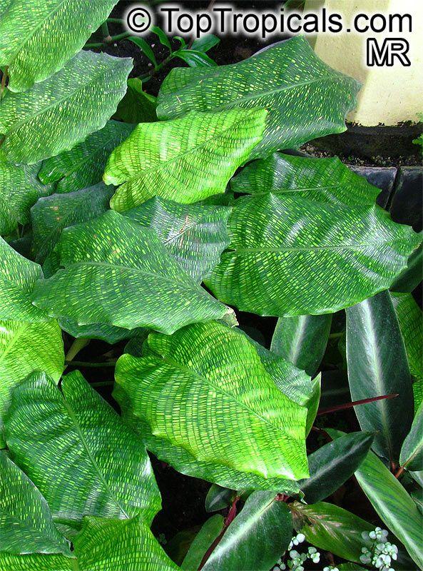 Calathea sp calathea calatheas plante verte y vert for Vivero plantas exoticas