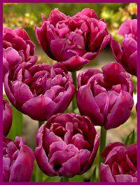 Tulip Margarita Planted today Hope Tulip Susan Komen Cancer Fund