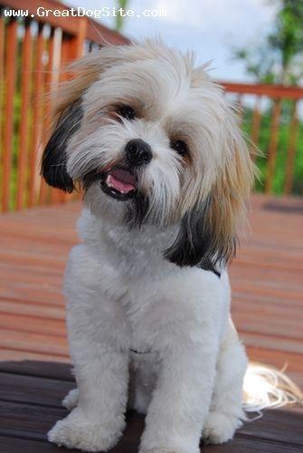 Cute Lhasapoo Lhasa Apso Cute Dogs Cute Animals