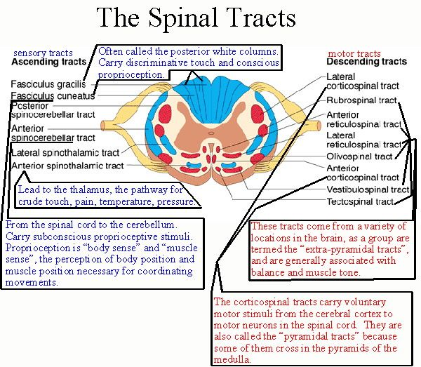 Spinal Tracts Poster | OT Ideas <3 | Pinterest | Therapy, Physical ...