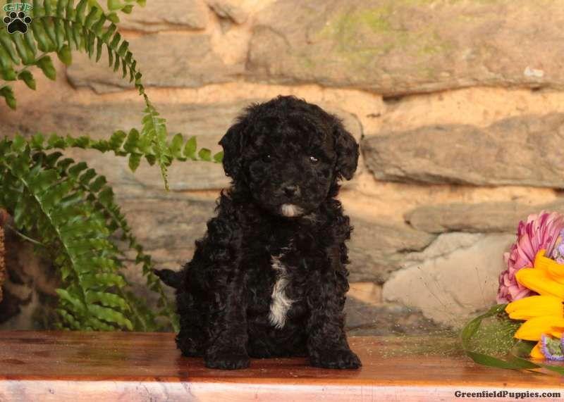 Joey maltipoo puppy for sale in east earl pa in 2020