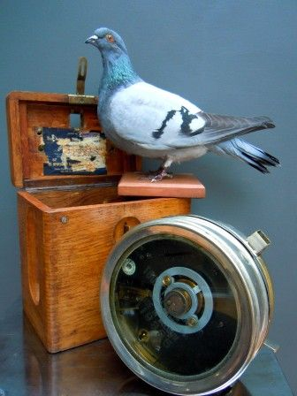 Vintage Taxidermy Racing Pigeon and the Clock