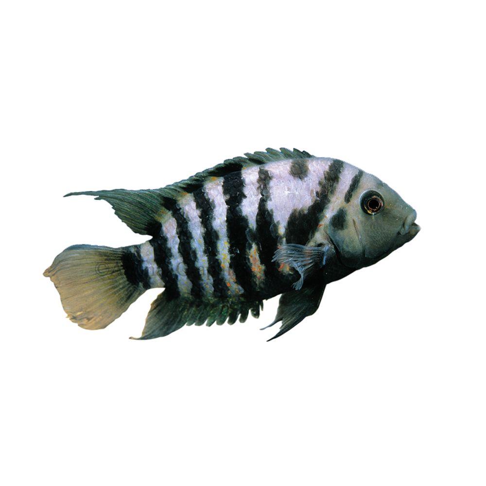 Convict Cichlid In 2020 Pet Fish Cichlids South American Cichlids