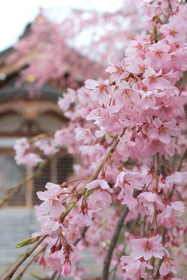 Sakura Hopeful Smile Japanese Garden Plants Sakura Cherry Blossom Amazing Nature Photography
