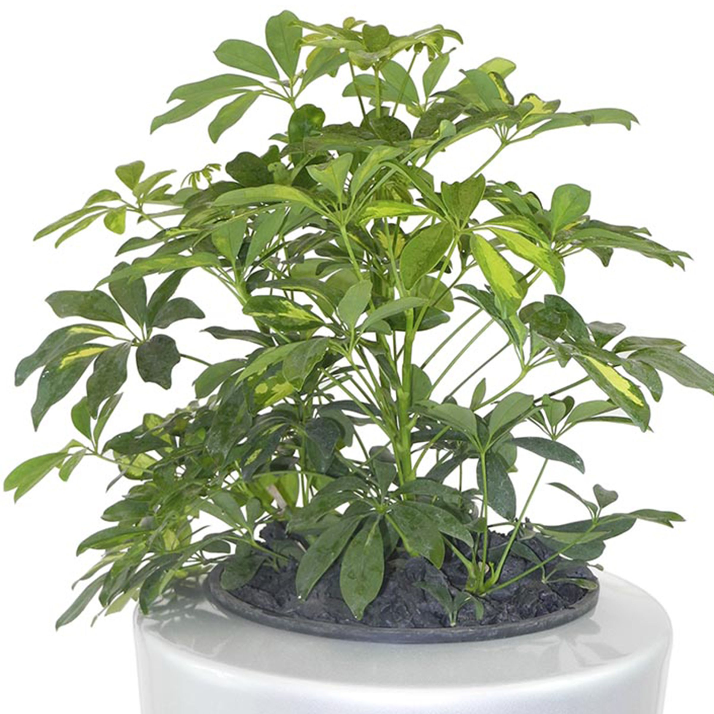 Schefflera arboricola dwarf umbrella tree office for Schefflera arboricola