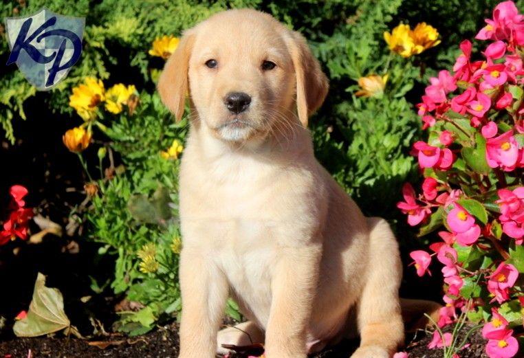 Puppy Finder Find Buy A Dog Today By Using Our Petfinder Golden Labrador Puppies Labrador Puppies For Sale Labrador Retriever Puppies