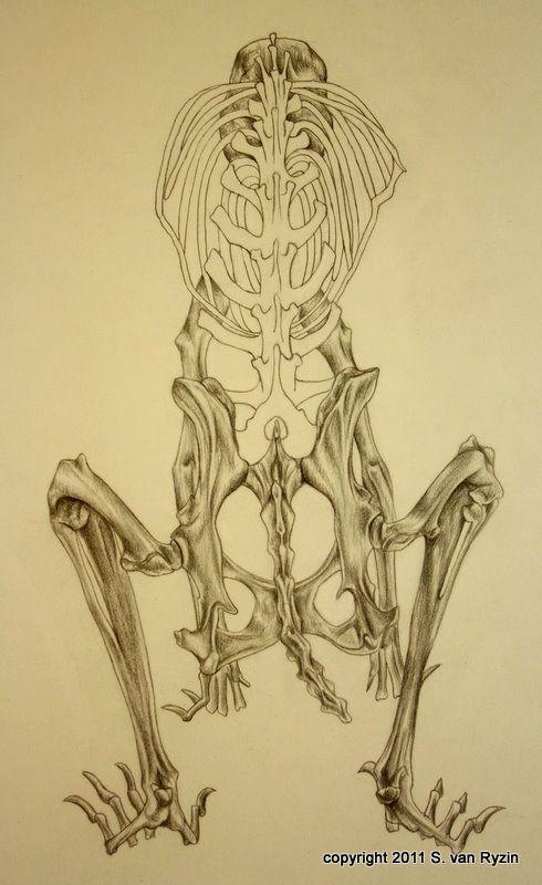 Rabbit Skeleton Diagram Rabbit Skeleton Animalsol Aniamls