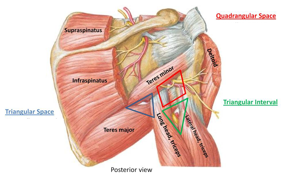 radial nerve entrapment and supraspinatus tear - Google Search ...