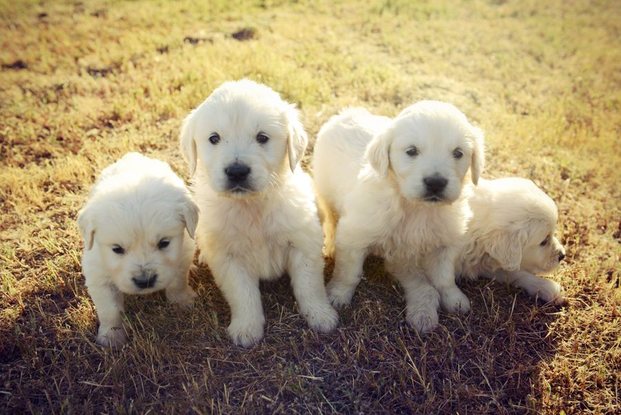 English Golden Retriever Puppies English Golden Retriever Puppy English Golden Retrievers Golden Retriever
