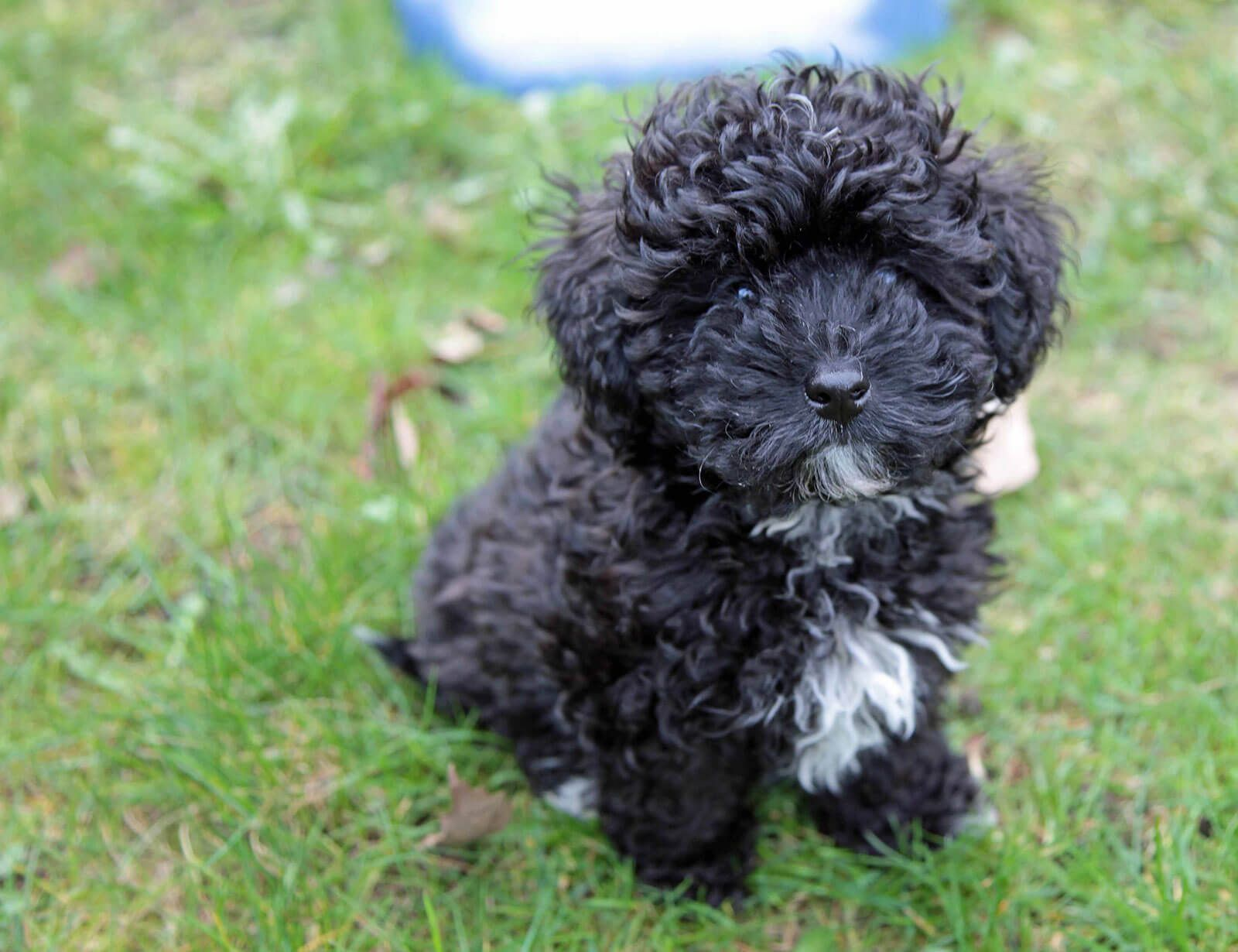 White And Black Havapoo Poodle Mix Dogs Havapoo Puppies Dog Breeds