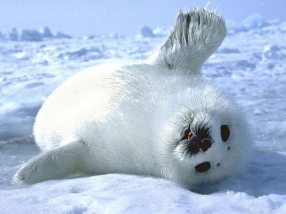 White Seal | Cute animals, Cute animal pictures, Cute baby ...