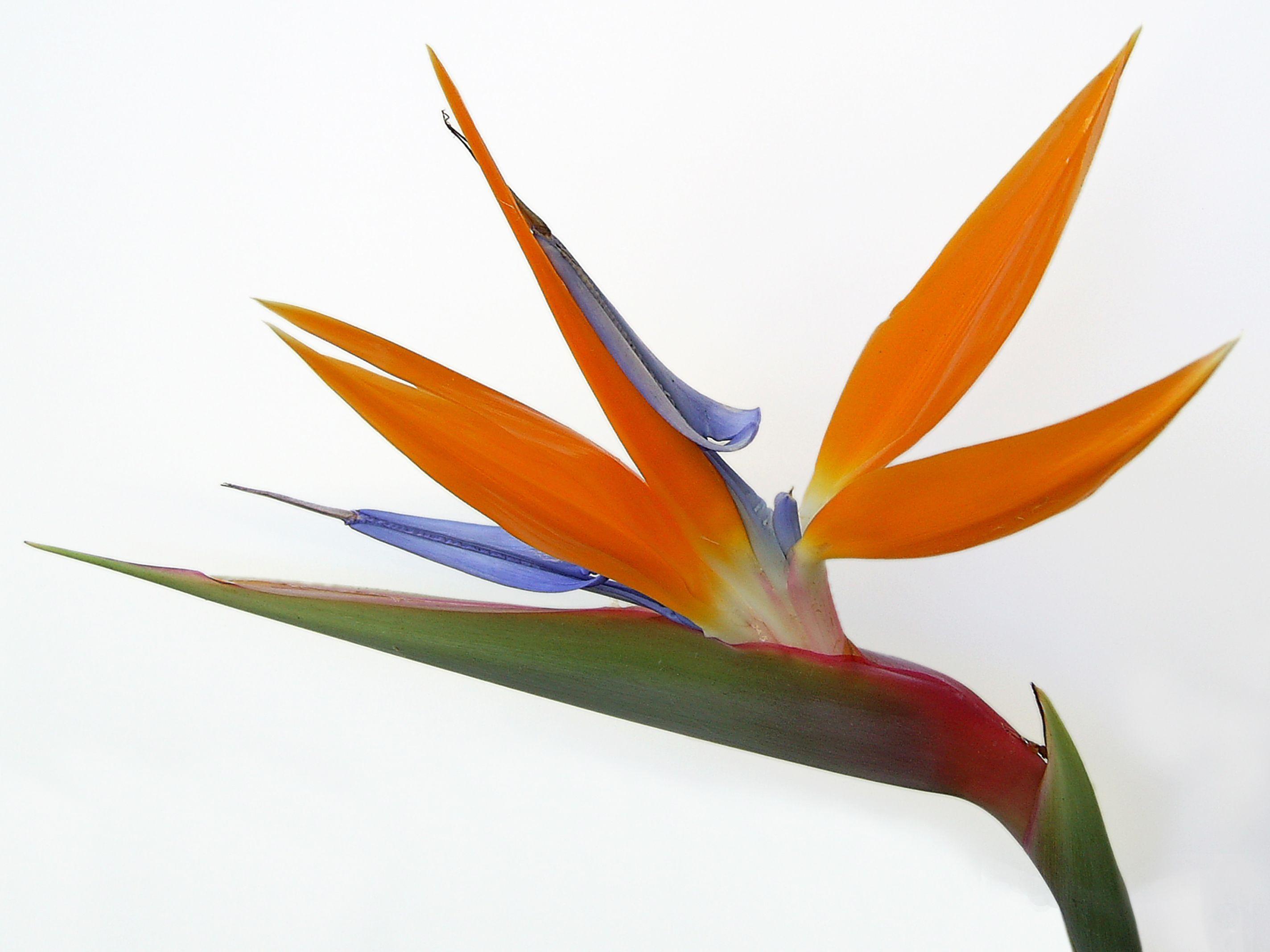 Crane flowers exotic bird of paradise socialphy crane flowers exotic bird of paradise socialphy exoticflowersbirdofparadise buycottarizona