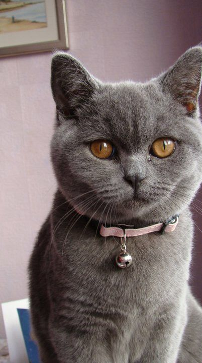 British Shorthair Cat This Cat Breed Is Medium To Large Sized With A Powerful Compact Build The Ches Cat Breeds British Shorthair Kittens British Blue Cat
