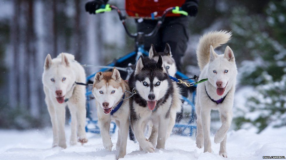 Super Woofers Sled Dog Racing Husky Dogs Sled
