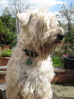 wheaten terrier irish coat - Google Search