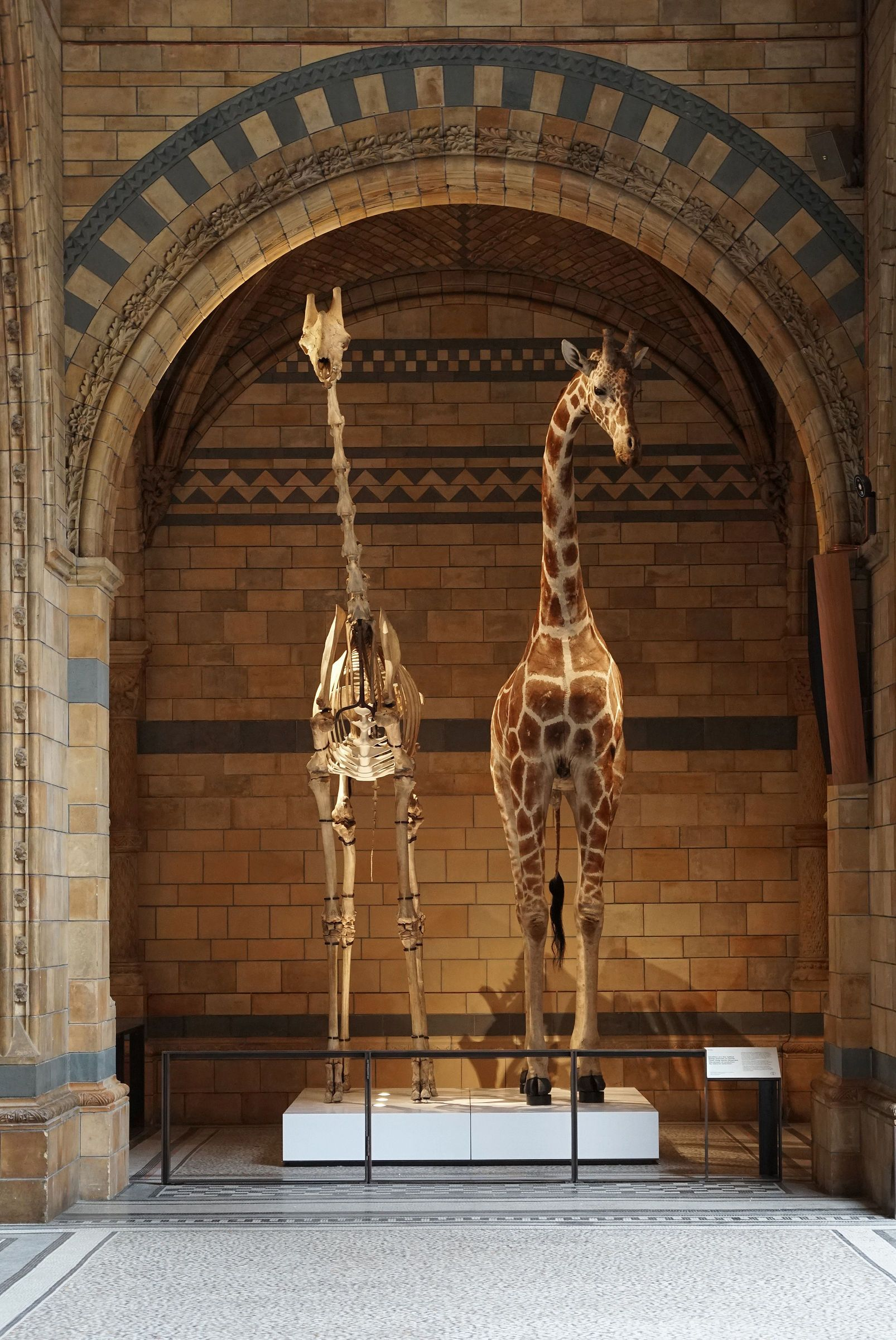How To Include Taxidermy Into Trendy Home Decor: Natural History Museum Giraffe Skeleton And Taxidermy