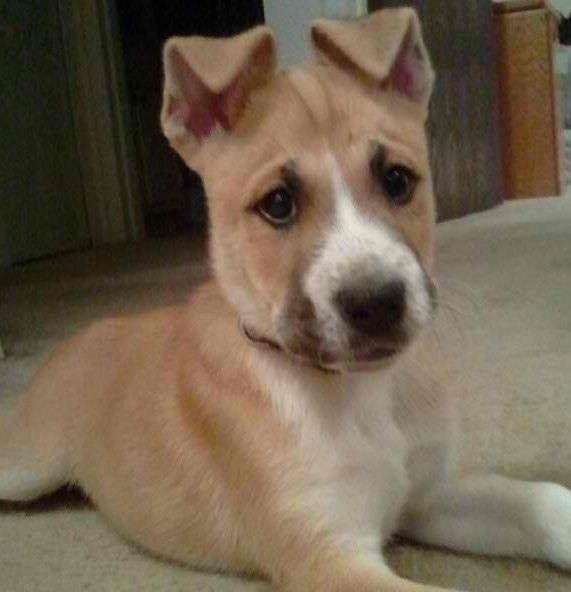 Reddit Meet Our Husky Boxer Sawyer Boxer Mix Puppies Puppies