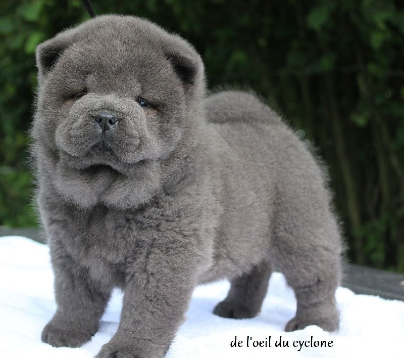 chow chow puppy... squeeee, how adorable! Elevage de l