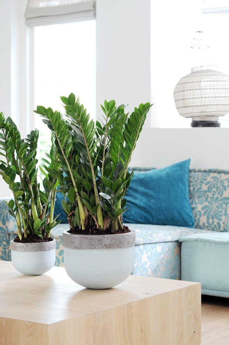 Für wenig Licht eignet sich die beliebte Zamioculcas Zimmerpflanze