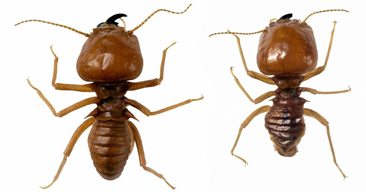 Remedios caseros para las termitas   Tips   Pinterest   Daño, La ...