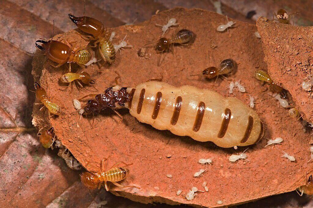 Do Ants Eat Termites