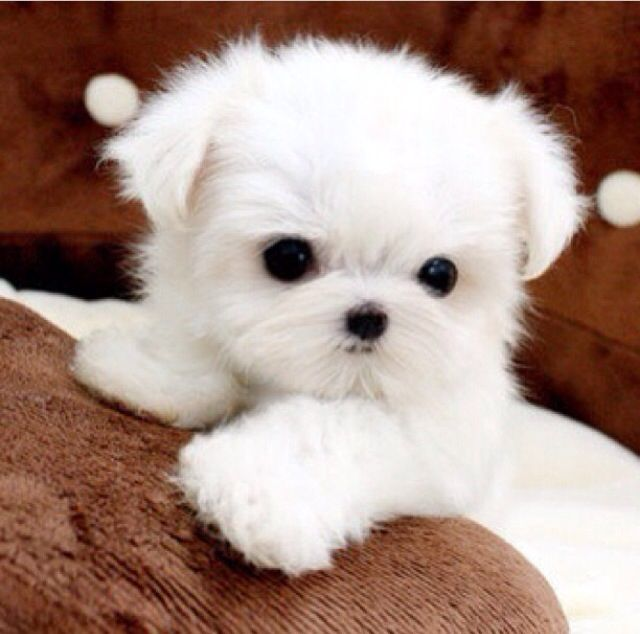 Little Fur Ball With Images Cute Dogs And Puppies Cute Animals