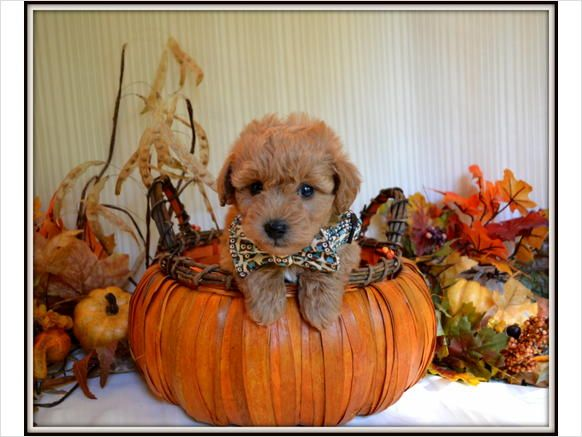 Teddy Bear Schnoodles Miniture Schnoodle Males For Sale