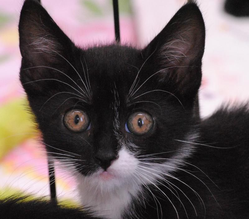 Pin On Pets Alive Adoptable Cats And Kittens