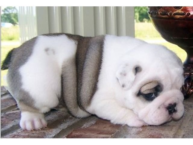 Listing English Bulldog Puppies For Adoption Is Published