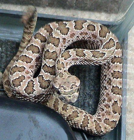 Crotalus Viridis Prairie Rattlesnake Generally Western