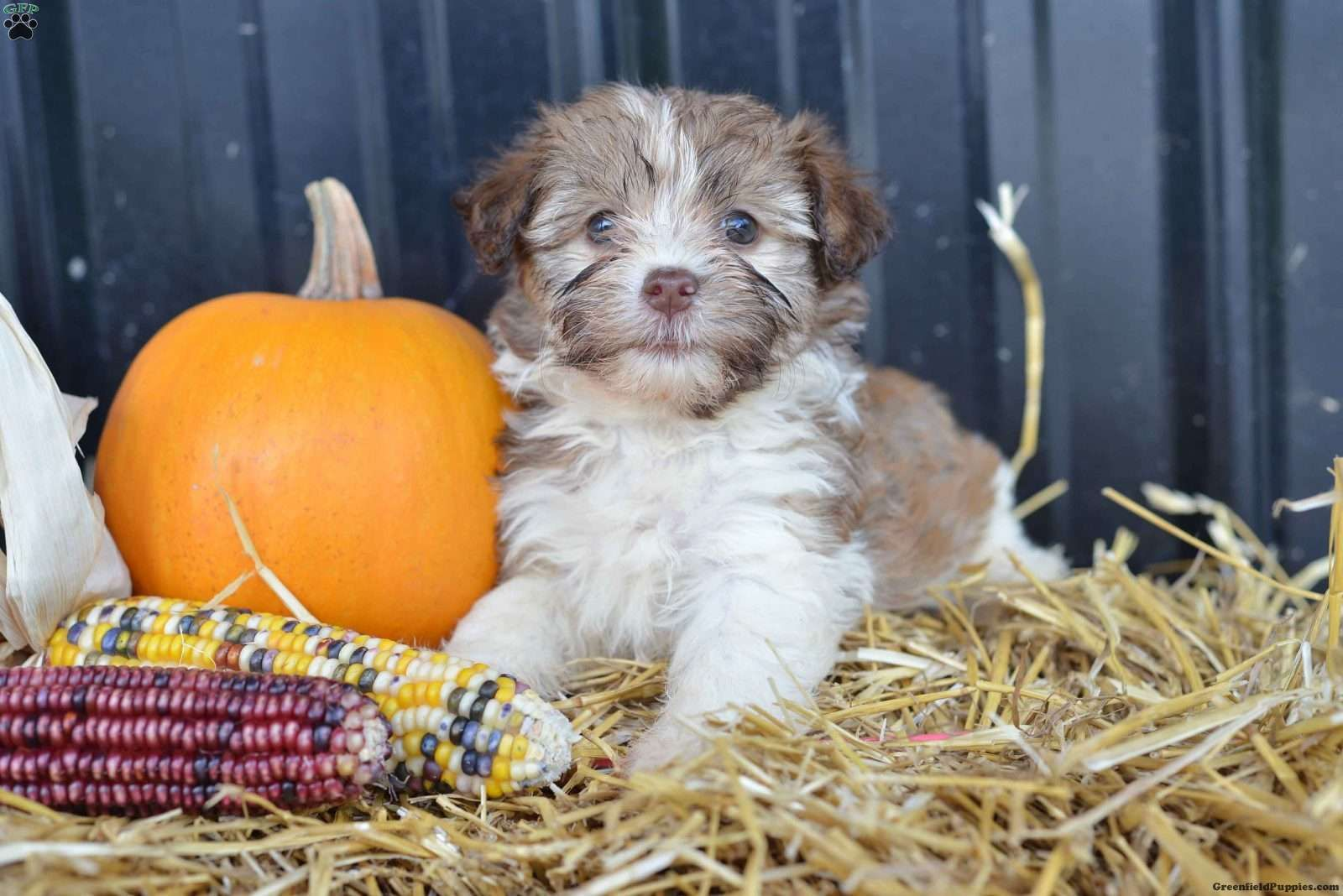Paige Havanese Puppy For Sale in Ohio Havanese puppies