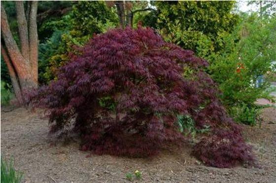 Image Of Acer Palmatum Var Dissectum Tamukeyama Japanese Garden