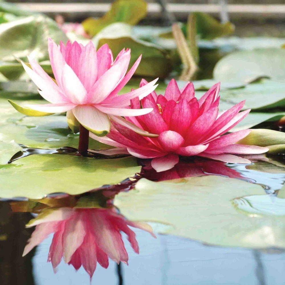 N nuphar pr cultiv rose exotic flowers fleurs exotiques plante jardin fleurs n nuphar et - Nenuphar dessin ...