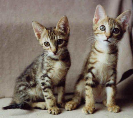 Sokoke Kittens Rare Cat Breeds Rare Cats Cat Breeds