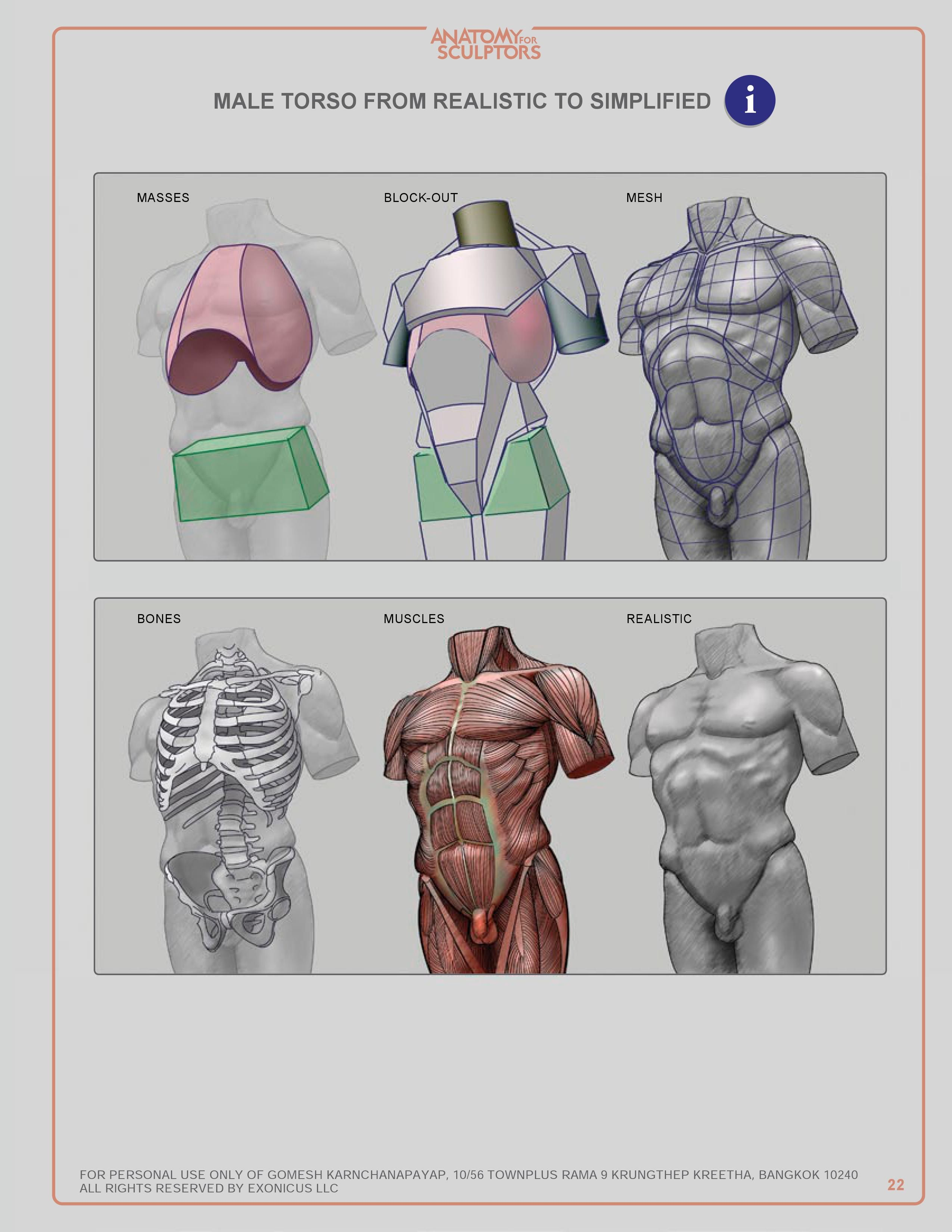 MALE TORSO FROM REALISTIC TO SIMPLIFIED | Human anatomy | Pinterest ...