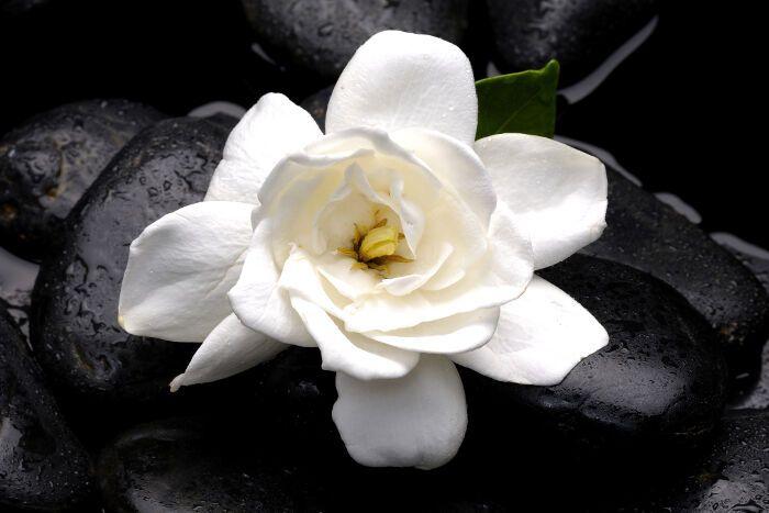 Flor de gardênia