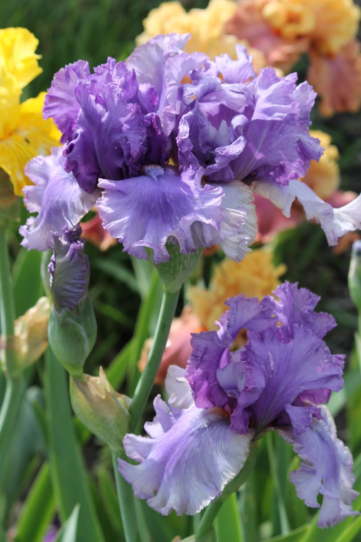Irises Forum Indoor Gardening Kit Organic Gardening Tulips Garden
