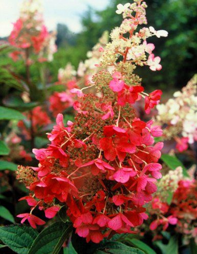 hydrangea paniculata 39 pinky winky 39 google search. Black Bedroom Furniture Sets. Home Design Ideas