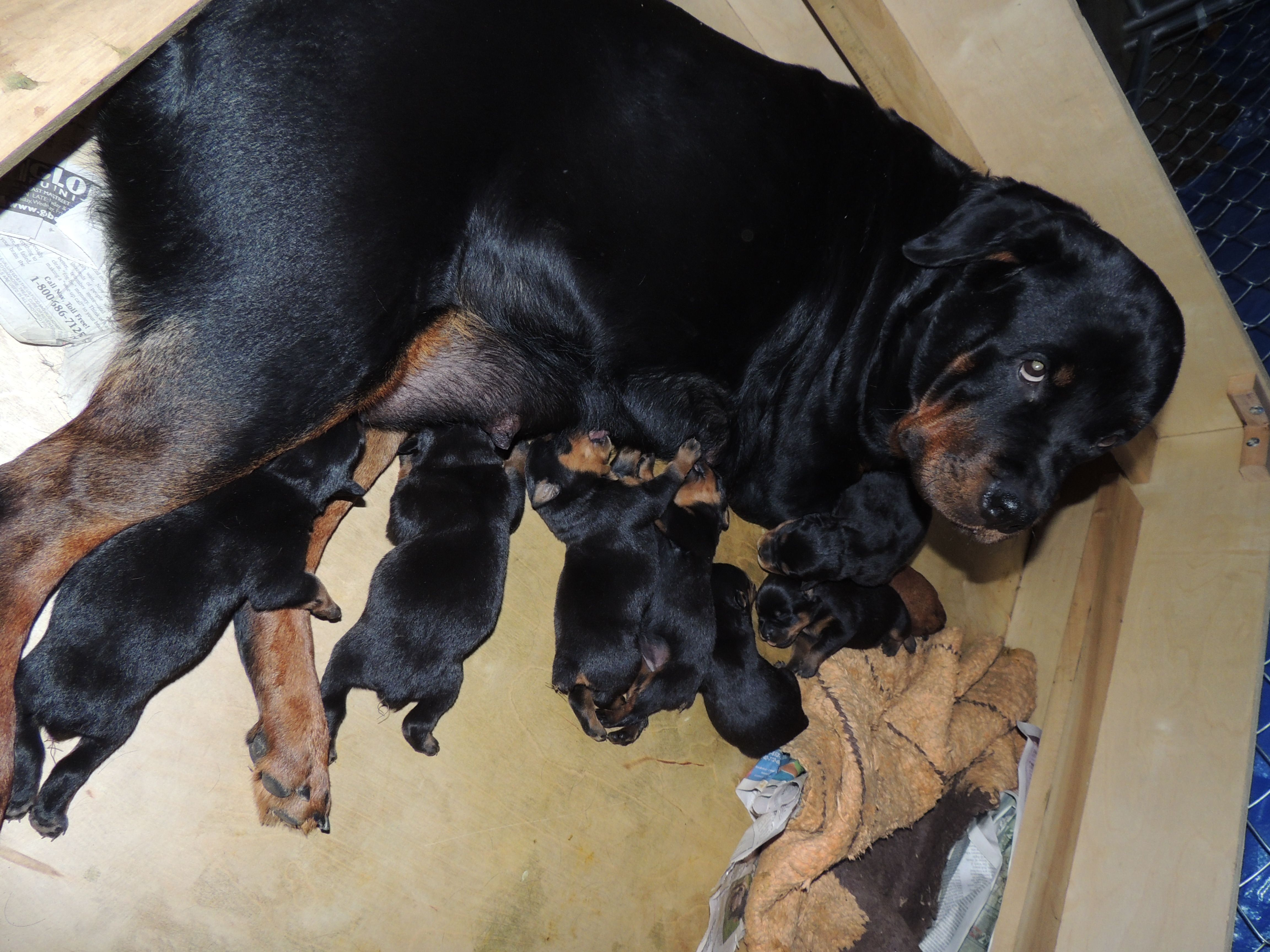 Rottweiler Mother And Puppies Puppies Rottweiler Puppies