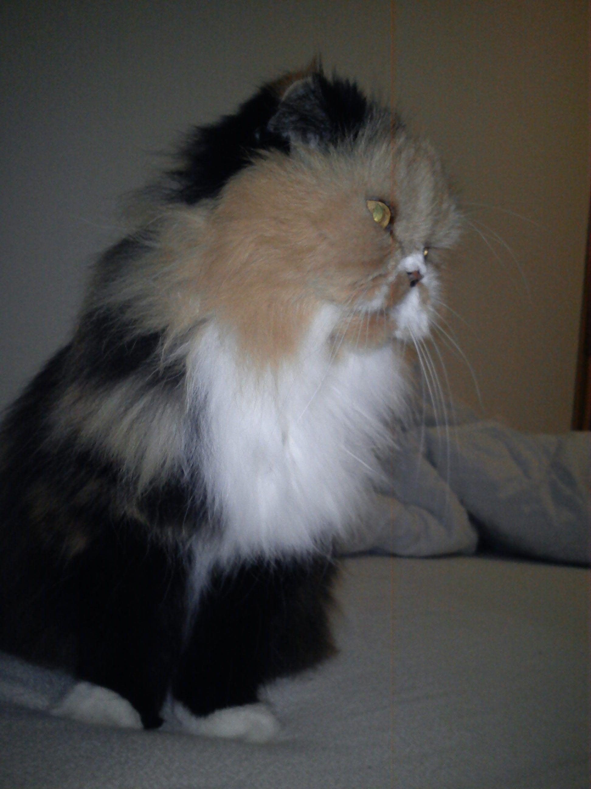 Frida my Persian Cat 3 Crazy Cat Lady Pinterest