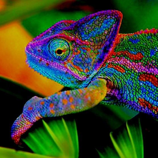 Amazing Colorful Chamilions: Color Burst Chameleon.