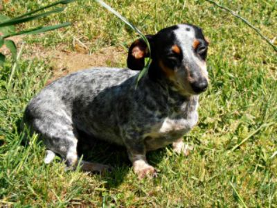 Elsa Britton A Tri Color Blue Merle Mini Dachshund She S The