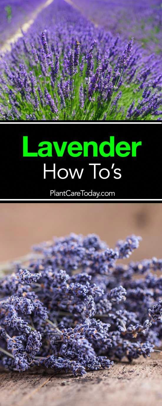 To Tips On Growing Lavender Gardening Classes Near MeGardening Classes Near Me