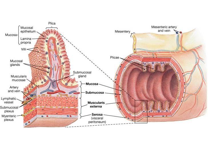 Duodenum Anatomy | F skool | Pinterest | Anatomy