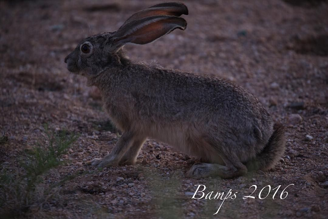#jackrabbit #rabbitsofinstagram #wildlife_seekers #divine_deserts #wild #desertnature #desertwildlife #wildlife #wildlifeofarizona #rabbitsofinstagram #ears #earthbound shot #arizonawildlife #arizonajackrabbit #rabbitsofinstagram #wildlifephotography #fantastic_earth #earthpix #earthanimals by bamps2016