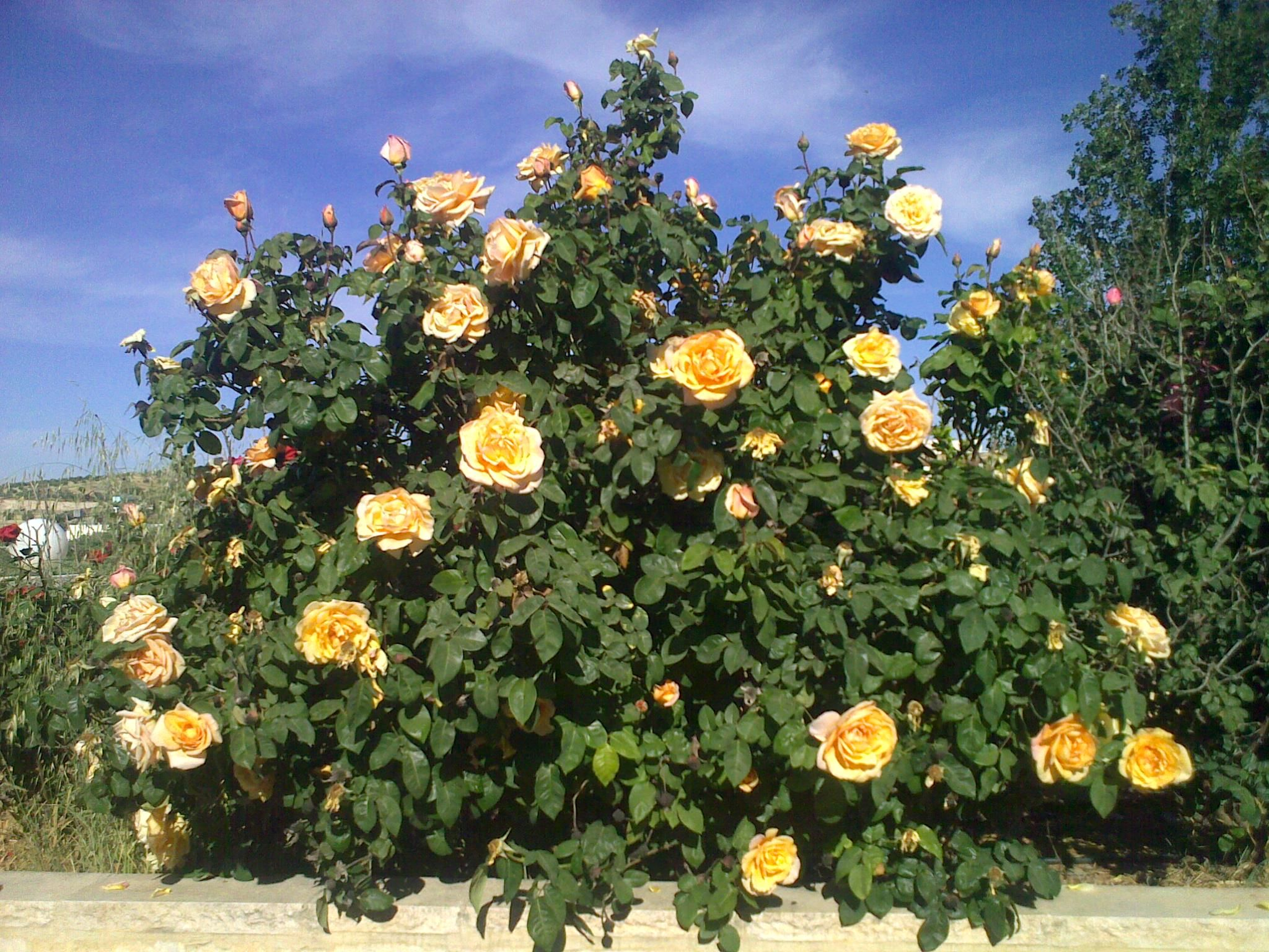Yellow Rose Bush Rose Garden Landscape Rose Bush Yellow Roses