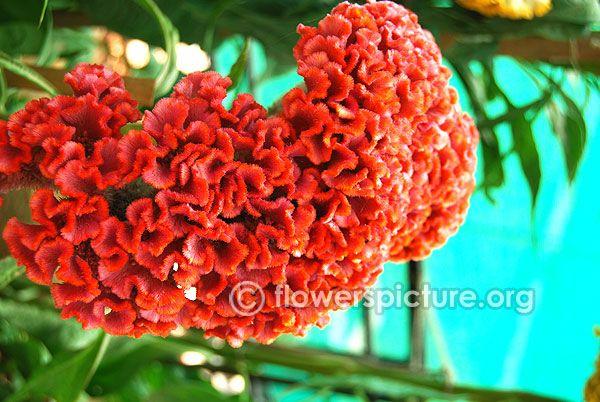 Celosia Cristata Chief Orange Flowers Botanical Container Gardening