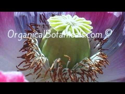 Organicalbotanicals opium poppy flower photography back in the organicalbotanicals opium poppy flower photography back in the gro mightylinksfo