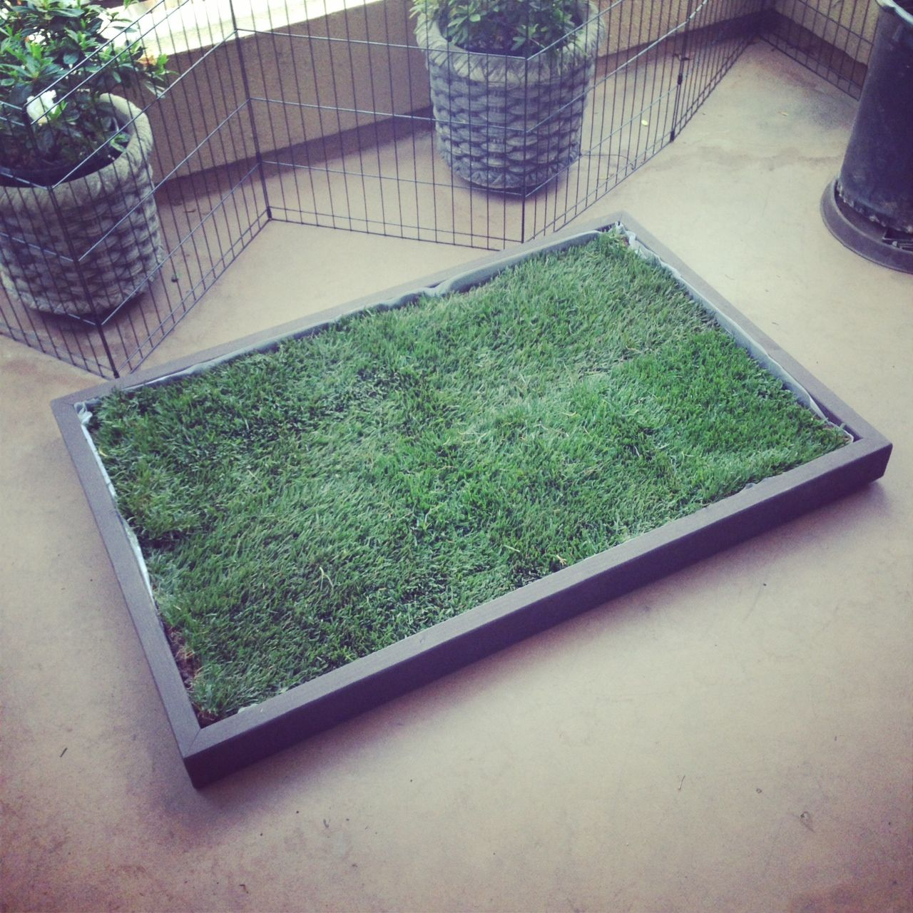 This Grass Litter Box For Dogs In Brentwood California Dog Puppy Pup Cute Dogsofpinterest Pet Pets Ani Dog Grass Patch Dog Potty Patch Dog Potty Area